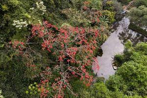 'Nao lòng' trước vẻ đẹp của hoa gạo cổ bung sắc tại chùa Hương