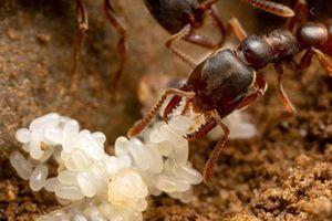 Loài kiến có bộ hàm 'quái vật', đóng mở nhanh gấp 5.000 lần một cái chớp mắt