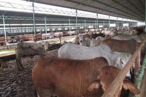 Công ty Bình Hà tính huy động vốn ra sao để 'giải cứu' dự án nuôi bò ở Hà Tĩnh?
