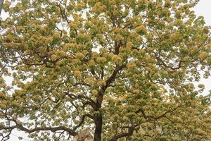 Lặng ngắm cây hoa bún độc nhất vô nhị hàng trăm tuổi bung nở giữa lòng Hà Nội