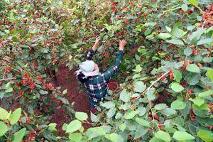Chùm ảnh: Vườn dâu tằm chín đỏ xứ Đoài