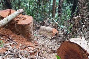 Rừng phòng hộ bị đốn hạ, chủ rừng không hay biết