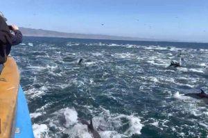 Đàn cá heo khổng lồ khiến cả vùng biển dậy sóng