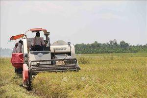 Giá lúa vụ Đông Xuân tăng cao kỷ lục