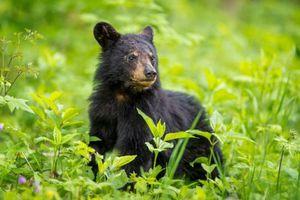 Căn bệnh kỳ lạ biến những chú gấu Mỹ thành 'thây ma'