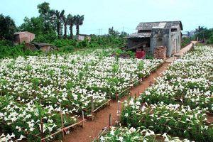 Hà Nội trong sắc trắng tinh khôi của hoa loa kèn