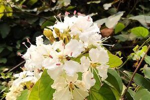 Hạ Long, mùa móng bò thơm trổ hoa