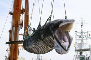 Bất chấp chỉ trích, Nhật Bản bắt đầu mùa săn cá voi thương mại