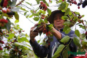 Hà Nội: Mùa dâu chín đỏ ở Phúc Thọ