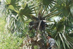 Lý do người dân vùng Bảy Núi bán cây thốt nốt đặc sản cho thương lái