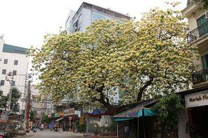 Cây hoa Bún 300 tuổi ở Hà Nội thu hút người dân đổ về thưởng lãm