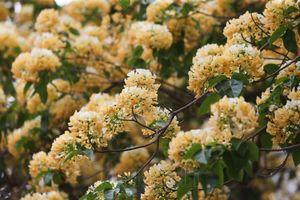 Hà Nội: Cây hoa bún hơn 300 tuổi khoe sắc vàng rực rỡ đầu tháng 4