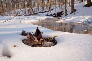 Loài cây sở hữu 'siêu năng lực' làm tan chảy cả băng tuyết