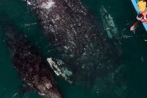 Trải nghiệm chơi đùa cùng cá voi xám khổng lồ ở Mexico