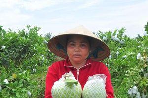 Nông dân trồng ổi ở Sóc Trăng thấp thỏm vì không có người mua