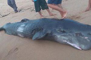 Cá voi trên mình có nhiều vết thương dạt bờ biển Tuy Hòa