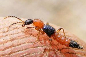 Độc tố của kiến ba khoang mạnh gấp 15 lần nọc rắn hổ mang: Khi bị đốt tuyết đối không được làm việc này