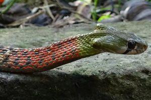 Bé 15 tháng tuổi bị rắn cắn tử vong
