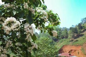 Ngắm rừng hoa Trẩu trắng muốt nơi cực Tây Tổ quốc