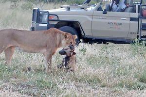 'Giả chết như thật' con chó hoang nhanh trí thoát chết nanh vuốt của sư tử