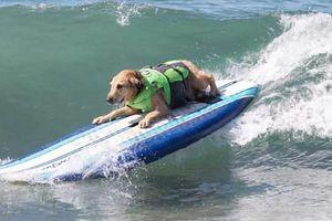 Lạ lùng chó thi... lướt sóng