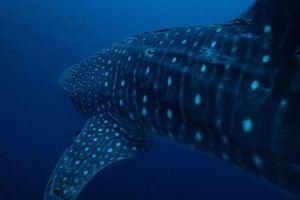 Thợ lặn ghi hình cận cảnh cá mập voi
