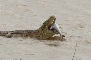 Khoảnh khắc cá sấu ăn thịt cá mập một cách ngon miệng
