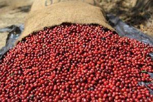 Giá cà phê hôm nay 7/4: Giá bật tăng mạnh, khối lượng giao dịch khủng, chờ bứt phá trong nước