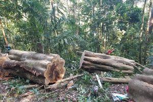 Lâm tặc đem cưa lốc vào rừng Kông Chro xẻ gỗ, người dân quay clip gửi cơ quan chức năng