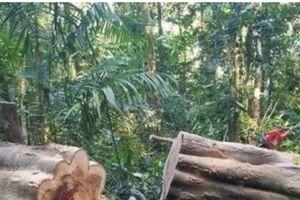 Khởi tố đối tượng khai thác gỗ trái phép
