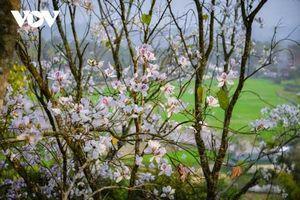 Mê mẩn ngắm hoa ban nở trắng núi rừng Điện Biên