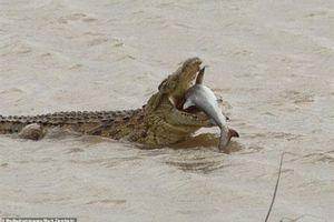 Cá sấu ăn thịt cá mập