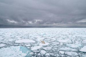 Biến đổi khí hậu buộc gấu Bắc Cực chuyến sang ăn trứng