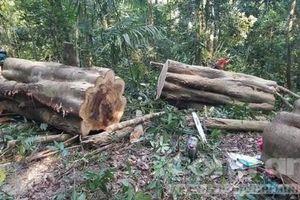 Cưa hạ 1 cây gõ cổ thụ lấy 13m3 gỗ, lâm tặc bị khởi tố