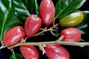 Bài thuốc chữa bệnh từ quả nhót nhiều người chưa biết
