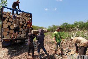 Bất thường đấu giá cao su ở Kon Tum: Rầm rộ khai thác, vô tư chở quá tải