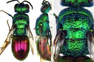 Loài ong 'lưu manh', học ngôn ngữ giao tiếp của loài ong khác rồi trà trộn vào tổ để thực hiện âm mưu thâm hiểm