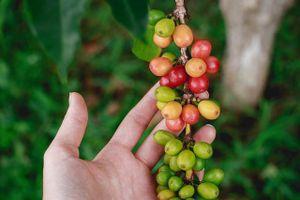 Giá cà phê hôm nay 9/4: Cà phê quay đầu tăng mạnh khi nguồn cung dự báo sụt giảm