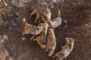 Chó cảnh vô tình rơi vào giữa bầy sói: Chết thảm