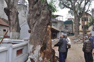 Chín cây muỗm nghìn năm ở đền Voi Phục