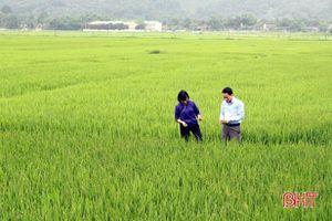 Hương Sơn khẩn trương phòng trừ bệnh bạc lá gây hại lúa xuân