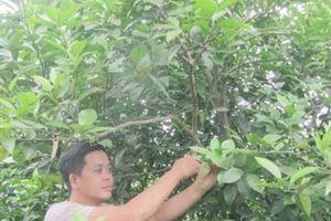 Chăm sóc cây có múi trong thời kỳ mang quả