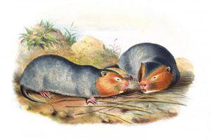 Soi loài chuột khổng lồ của Việt Nam làm cả thế giới tò mò