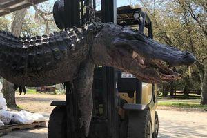 Mổ bụng cá sấu 'quái vật', phát hiện lời giải cho nhiều vụ mất tích