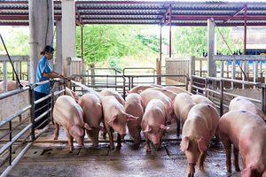 Giá lợn hơi hôm nay 11/4/2021: Dao động từ 73.000 - 76.000 đồng/kg