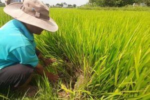 Hàng trăm ha lúa đông xuân có nguy cơ mất trắng vì thiếu nước