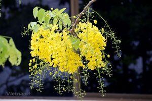 Ý nghĩa của loài hoa Dook Khoun trong đời sống của người dân Lào