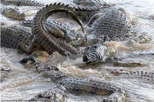 Cảnh hơn 40 con cá sấu xé xác ngựa vằn