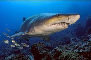Những hình ảnh đẹp nhất về các loại cá mập