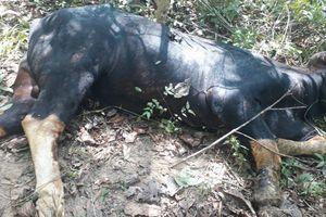 Vì sao bò tót đực nặng 700kg chết trong Khu bảo tồn Đồng Nai?